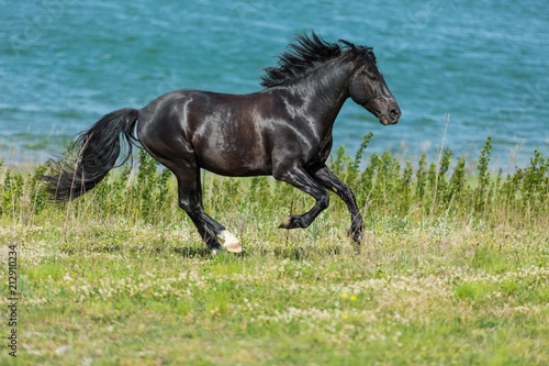 Fotobehang Paarden Black Stallion Running