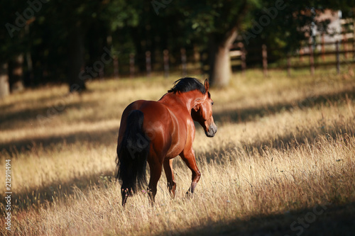 Fotobehang Paarden Horse, stallion brown in the morning light in the step on the meadow. Photographed from the back..