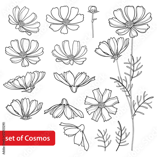 Vector set with outline Cosmos or Cosmea flower bunch, ornate leaf and bud in black isolated on white background. Contour blooming Cosmos plant for summer design and coloring book.