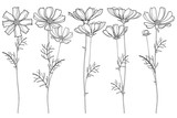 Vector set with outline Cosmos or Cosmea flower bunch, ornate leaf and buds in black isolated on white background. Contour blooming Cosmos plant for summer design and coloring book. © bokasana