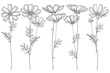 Vector set with outline Cosmos or Cosmea flower bunch, ornate leaf and buds in black isolated on white background. Contour blooming Cosmos plant for summer design and coloring book.