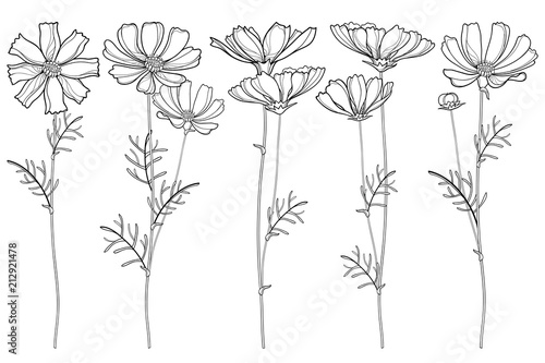 Vector set with outline Cosmos or Cosmea flower bunch, ornate leaf and buds in black isolated on white background. Contour blooming Cosmos plant for summer design and coloring book. - 212921478