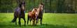 Pferdehaltung - zwei Pferde und ein Fohlen toben ausgelassen auf einer grünen Pferdekoppel