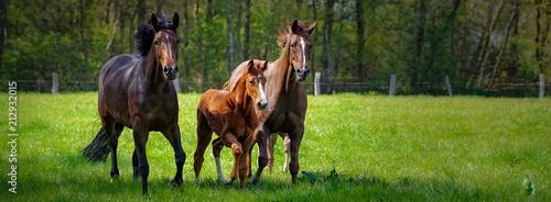 Fotobehang Paarden Pferdehaltung - zwei Pferde und ein Fohlen toben ausgelassen auf einer grünen Pferdekoppel