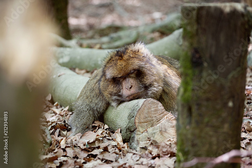 Fotobehang Aap Barbary macaque monkey relaxing on branch, wildlife shot