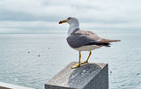 Seagull on stone border in Vladivostok on background of cloudy sky