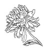 Decorative ink drawing chrysanthemum flower