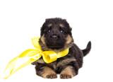 small German Shepherd puppy isolated - 212948264
