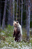 The brown bear (Ursus arctos) male walking in the forest. Female bear in the finnish taiga.Young bear with sunset in the background. - 212951440