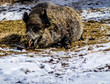 Eurasian wild boar (Sus scrofa) laying in hay and playing with toy, captivity, Calgary, Alberta