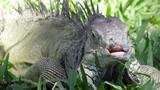 Big green iguana on a green grass - 212955231