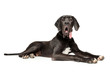 Great Dane lying on white background