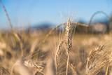 Erntereifes Getreide auf Feld, Landwirtschaft und Ackerbau, Freiraum  - 212962643