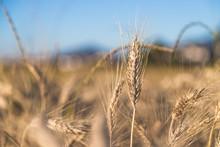 """Постер, картина, фотообои """"Erntereifes Getreide auf Feld, Landwirtschaft und Ackerbau, Freiraum """""""
