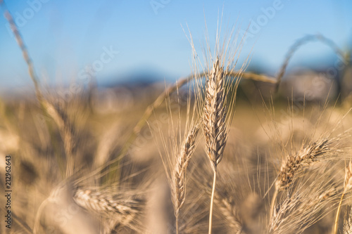 Erntereifes Getreide auf Feld, Landwirtschaft und Ackerbau, Freiraum