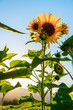Leinwanddruck Bild - Sonnenblumenfeld, Blüte, Sonnenuntergang, blauer Himmel