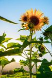 Sonnenblumenfeld, Blüte, Sonnenuntergang, blauer Himmel