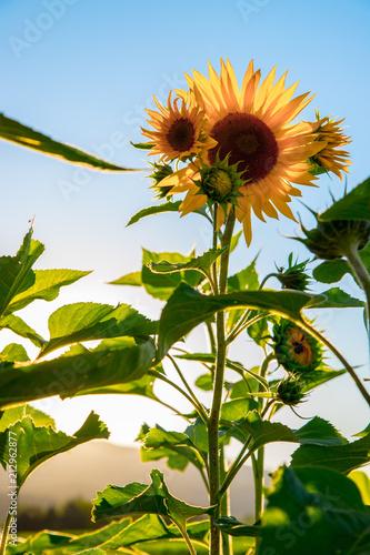 Foto Murales Sonnenblumenfeld, Blüte, Sonnenuntergang, blauer Himmel