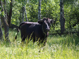 Big bull on pasture in the field - 212965033