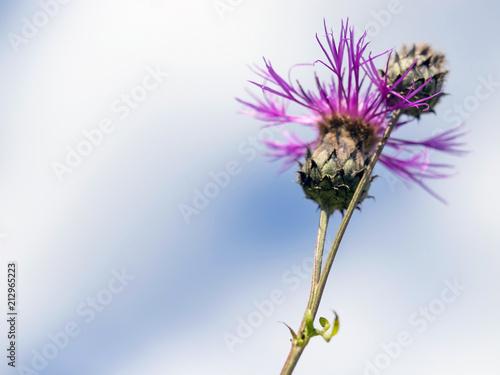 fioletowy kwiat na tle nieba