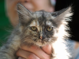 Funny calico kitten at the hands of man. Portrait of cat - 212965490