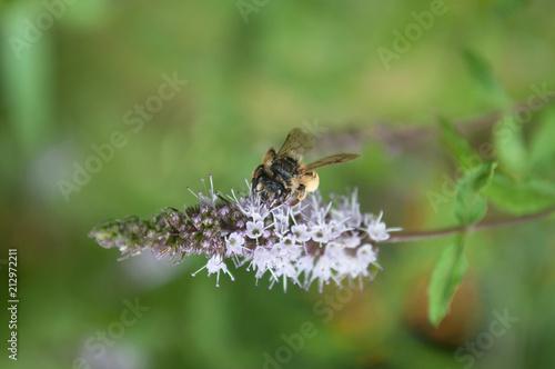 closeup of bee on mint flower - 212972211