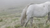 Wild pony with long hair grazes on the moor. - 212988058