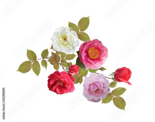 Fototapeta Rose flowers watercolor