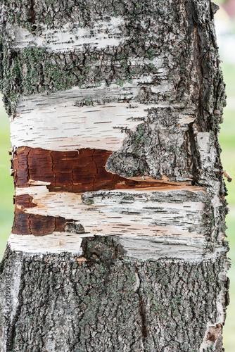 Birch Bark Closeup - 212990834