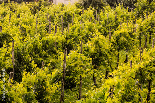 Canvas Honing landscape image of vineyards in the rain
