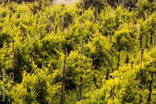 Foto Spatwand Honing landscape image of vineyards in the rain