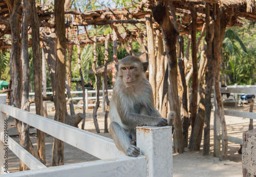 Fotobehang Aap The monkey is sitting on a white fence and looking at something, in The Open Zoo, Chonburi, Thailand.