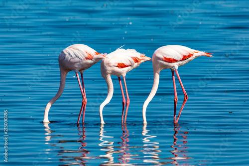 Fototapeta Rosy Flamingo colony in Walvis Bay Namibia