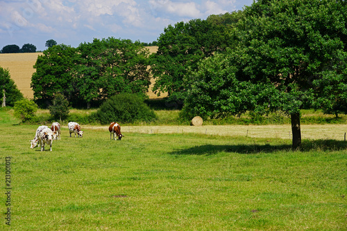 Aluminium Pistache White and brown cows in a green field in Brittany, France