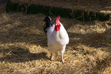 Beautiful young white rooster is in the coop with hay, portrait rooster