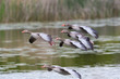 several flying gray geese (anser anser), reed, water