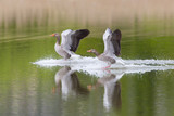 two gray geese birds (anser anser) landing on water surface - 213004855