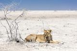 Löwin, Namibia - 213014242