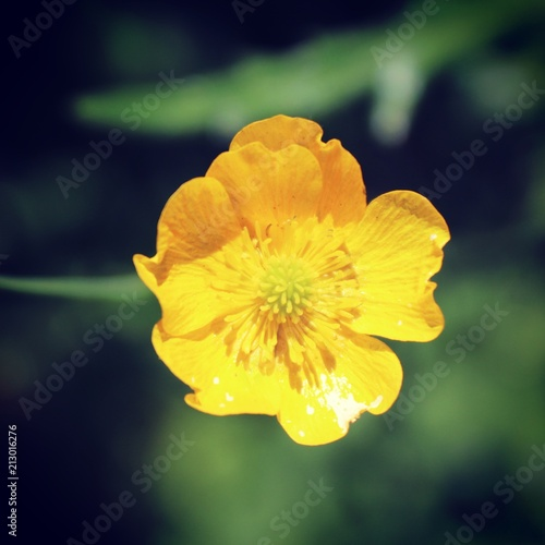 Little yellow flower - 213016276