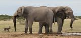 Elephant and wild dog