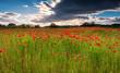 Poppy Field under cloud / A poppy field full of red poppies in summer near Corbridge in Northumberland