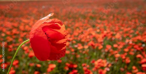 Roter Mohn auf einem Mohnblumenfeld - 213035622