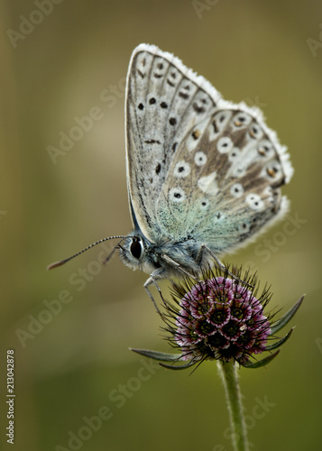Chalkhill blue on small scabious - 213042878