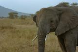 Young Elephant in Tanzania Closeup