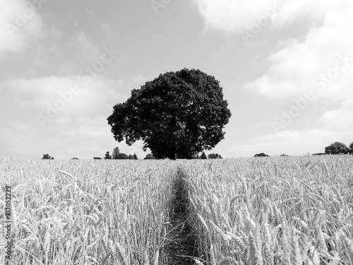 Foto Murales Oak tree in barley field, Rickmansworth, Hertfordshire, UK
