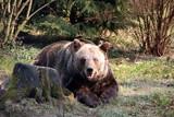 Brown Bear Resting - 213053400
