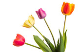 Multicolored tulip flowers isolated on white background - 213058289