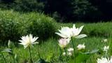 蓮池 ハスの花 - 213060870