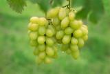 Fresh grape on bunches in farm