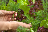 hands picking dill in the garden - 213063035